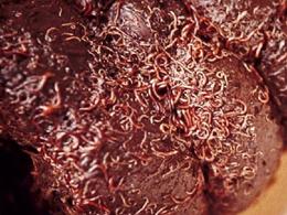 bloedworm